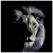 Shady-Lion-31600-Crystals-from-Swarovski®-100x100-cm.